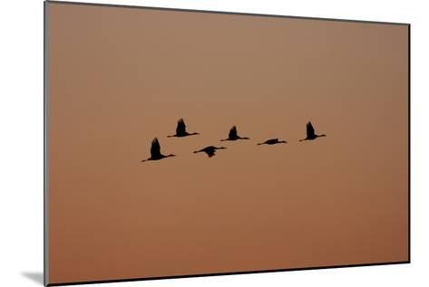 A Flock of Sandhill Cranes, Grus Canadensis, in Flight-Marc Moritsch-Mounted Photographic Print
