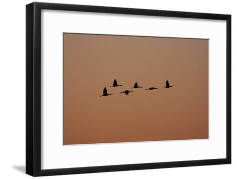 A Flock of Sandhill Cranes, Grus Canadensis, in Flight-Marc Moritsch-Framed Art Print