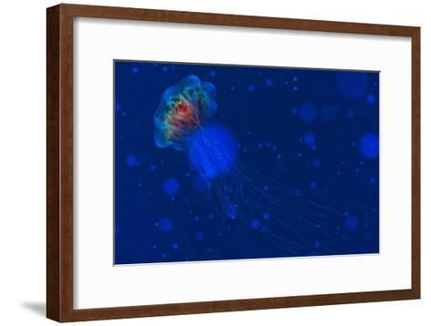 A Lion's Mane Jellyfish Drifts in the Current-Mauricio Handler-Framed Art Print