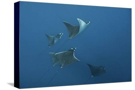 A School of Devil Rays Swim As They Filter Feed Off Isla Mujeres-Mauricio Handler-Stretched Canvas Print