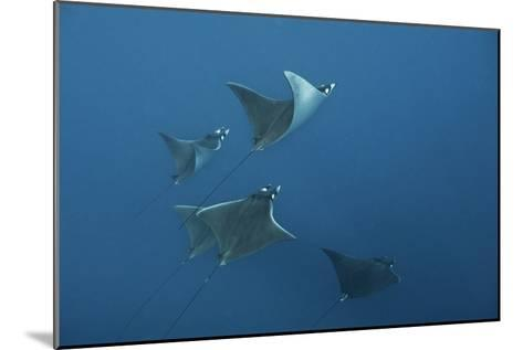 A School of Devil Rays Swim As They Filter Feed Off Isla Mujeres-Mauricio Handler-Mounted Photographic Print