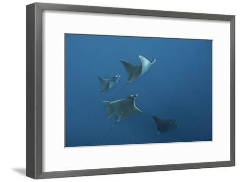 A School of Devil Rays Swim As They Filter Feed Off Isla Mujeres-Mauricio Handler-Framed Art Print