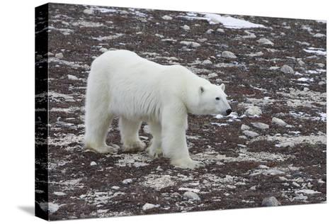 A Young Male Polar Bear Walks on Snow Spotted Arctic Tundra-Matthias Breiter-Stretched Canvas Print