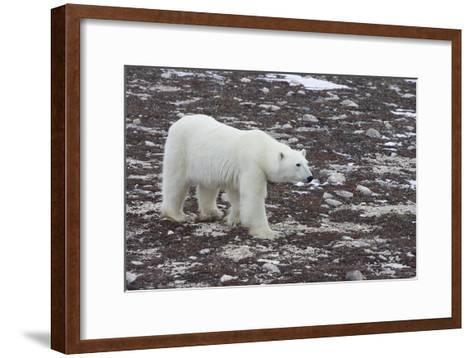 A Young Male Polar Bear Walks on Snow Spotted Arctic Tundra-Matthias Breiter-Framed Art Print