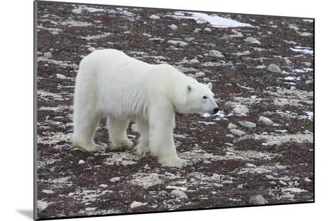 A Young Male Polar Bear Walks on Snow Spotted Arctic Tundra-Matthias Breiter-Mounted Photographic Print