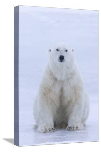 A Portrait of a Blood Stained Male Polar Bear Sitting on Sea Ice-Matthias Breiter-Stretched Canvas Print