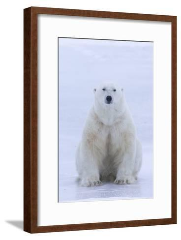 A Portrait of a Blood Stained Male Polar Bear Sitting on Sea Ice-Matthias Breiter-Framed Art Print