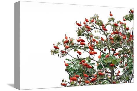 The Adult Male and Female Scarlet Ibis, Eudocimus Rube, Are Bright Red-Carrie Vonderhaar-Stretched Canvas Print
