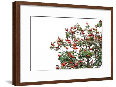 The Adult Male and Female Scarlet Ibis, Eudocimus Rube, Are Bright Red-Carrie Vonderhaar-Framed Art Print