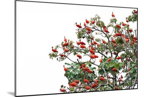 The Adult Male and Female Scarlet Ibis, Eudocimus Rube, Are Bright Red-Carrie Vonderhaar-Mounted Photographic Print