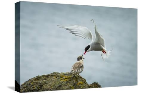 An Arctic Tern Feeds a Chick While in Flight-Ralph Lee Hopkins-Stretched Canvas Print