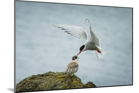 An Arctic Tern Feeds a Chick While in Flight-Ralph Lee Hopkins-Mounted Photographic Print