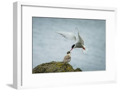 An Arctic Tern Feeds a Chick While in Flight-Ralph Lee Hopkins-Framed Art Print