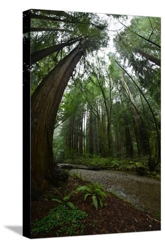 Ferns Line a Path Under a Tree Canopy in Muir Woods National Monument-Raul Touzon-Stretched Canvas Print