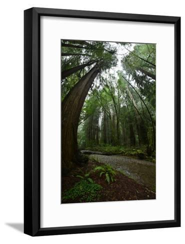 Ferns Line a Path Under a Tree Canopy in Muir Woods National Monument-Raul Touzon-Framed Art Print