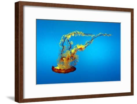 Portrait of a Colorful Jellyfish, Swimming-Sean Gallagher-Framed Art Print