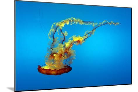 Portrait of a Colorful Jellyfish, Swimming-Sean Gallagher-Mounted Photographic Print
