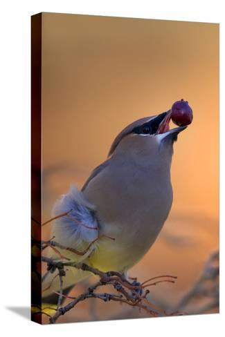 A Cedar Waxwing, Bombycilla Cedrorum, Eating a Berry-Robbie George-Stretched Canvas Print