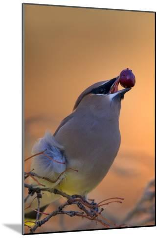 A Cedar Waxwing, Bombycilla Cedrorum, Eating a Berry-Robbie George-Mounted Photographic Print