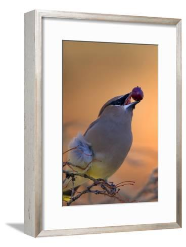 A Cedar Waxwing, Bombycilla Cedrorum, Eating a Berry-Robbie George-Framed Art Print