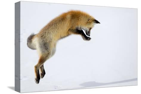 A Red Fox, Vulpes Vulpes, Pouncing for Prey Burrowed Under the Snow-Robbie George-Stretched Canvas Print