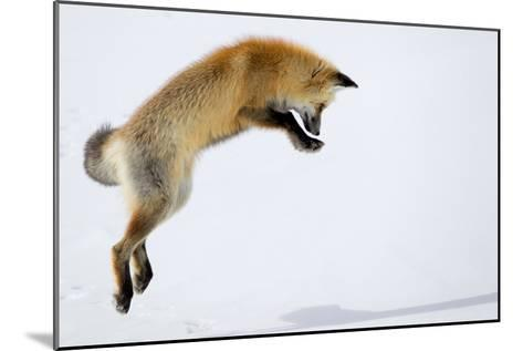 A Red Fox, Vulpes Vulpes, Pouncing for Prey Burrowed Under the Snow-Robbie George-Mounted Photographic Print