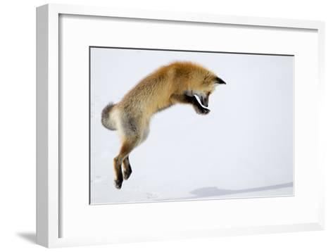 A Red Fox, Vulpes Vulpes, Pouncing for Prey Burrowed Under the Snow-Robbie George-Framed Art Print