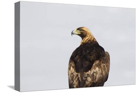 Portrait of a Golden Eagle, Aquila Chrysaetos, Looking for Prey-Robbie George-Stretched Canvas Print
