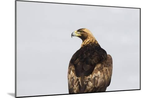 Portrait of a Golden Eagle, Aquila Chrysaetos, Looking for Prey-Robbie George-Mounted Photographic Print