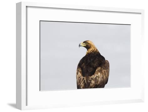 Portrait of a Golden Eagle, Aquila Chrysaetos, Looking for Prey-Robbie George-Framed Art Print