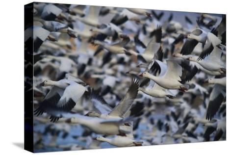 A Huge Flock of Snow Geese in Flight-Raul Touzon-Stretched Canvas Print