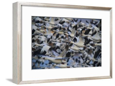 A Huge Flock of Snow Geese in Flight-Raul Touzon-Framed Art Print