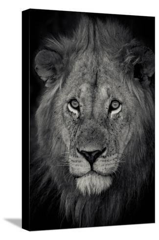 An Adult Lion Sits and Waits for Night to Fall in the Fading Light-Robin Moore-Stretched Canvas Print