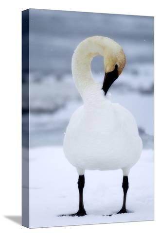 Portrait of a Trumpeter Swan, Cygnus Buccinator, Preening in the Snow-Robbie George-Stretched Canvas Print