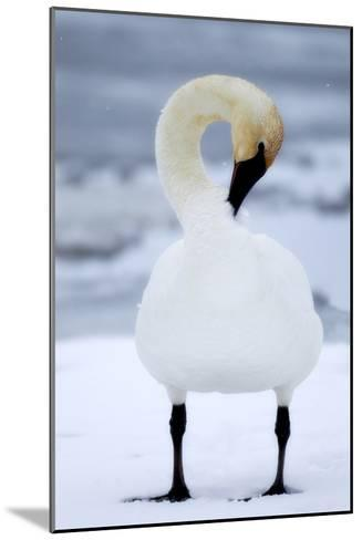 Portrait of a Trumpeter Swan, Cygnus Buccinator, Preening in the Snow-Robbie George-Mounted Photographic Print