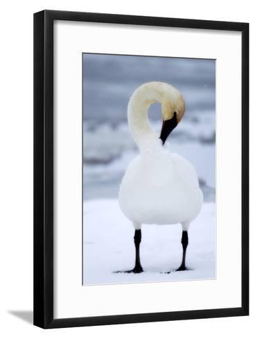 Portrait of a Trumpeter Swan, Cygnus Buccinator, Preening in the Snow-Robbie George-Framed Art Print