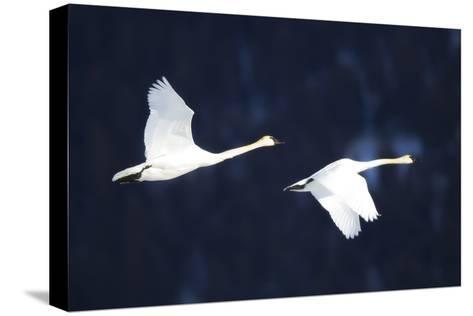 Two Trumpeter Swans, Cygnus Buccinator, in Flight-Robbie George-Stretched Canvas Print