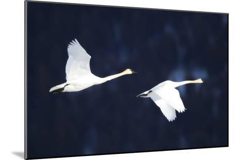 Two Trumpeter Swans, Cygnus Buccinator, in Flight-Robbie George-Mounted Photographic Print