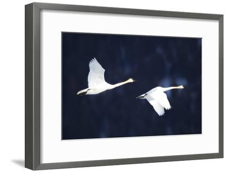 Two Trumpeter Swans, Cygnus Buccinator, in Flight-Robbie George-Framed Art Print