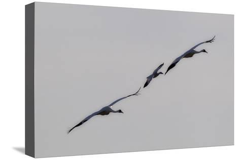 Whooping Cranes, Grus Americana, Flying with An Imprinted Snow Goose-Robbie George-Stretched Canvas Print