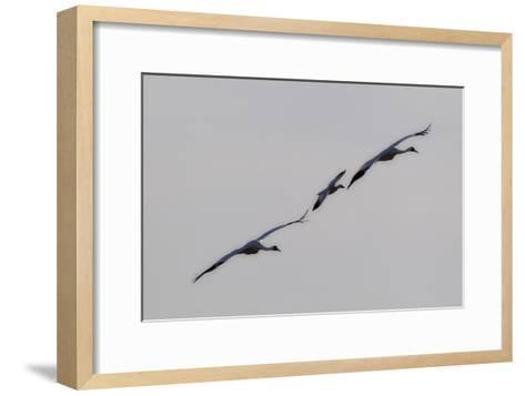 Whooping Cranes, Grus Americana, Flying with An Imprinted Snow Goose-Robbie George-Framed Art Print