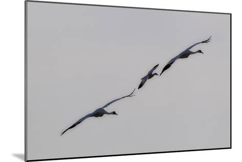Whooping Cranes, Grus Americana, Flying with An Imprinted Snow Goose-Robbie George-Mounted Photographic Print