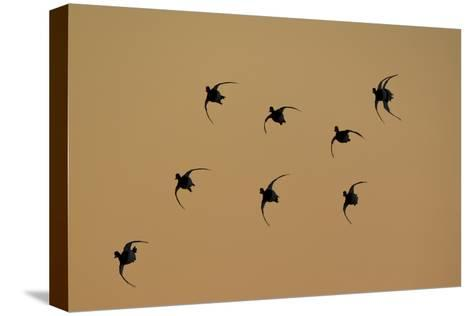 Redhead Ducks, Aythya Americana, in Flight, Silhouetted at Sunrise-Robbie George-Stretched Canvas Print