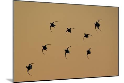 Redhead Ducks, Aythya Americana, in Flight, Silhouetted at Sunrise-Robbie George-Mounted Photographic Print