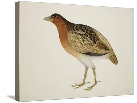 Long-Billed Partridge-J. Briois-Stretched Canvas Print