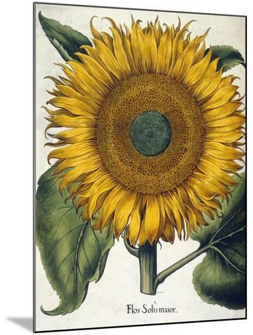 Sunflower--Mounted Giclee Print