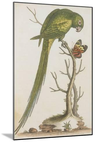 Parrakeet--Mounted Giclee Print