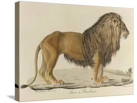 a Barbary Lion--Stretched Canvas Print