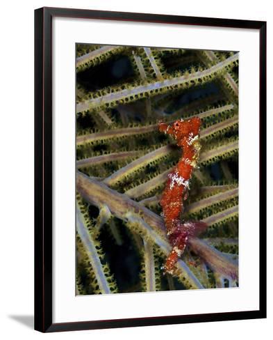 Red Seahorse On Caribbean Reef-Stocktrek Images-Framed Art Print