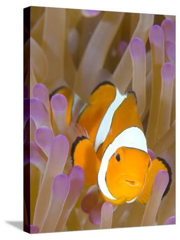 A Clown Anemonefish in a Purple Anemone, Papua New Guinea-Stocktrek Images-Stretched Canvas Print